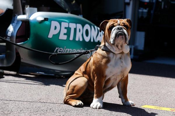 Monte Carlo, Monaco 22nd May 2013 Roscoe, dog of Lewis Hamilton, Mercedes AMG World Copyright: Charles Coates/LAT Photographic ref: Digital Image _N7T0258