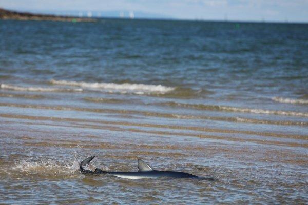 A blue shark sighted on St Kilda Beach. Formula One World Championship, Rd 2, Australian Grand Prix, Preparations, Albert Park, Melbourne, Australia, Wednesday 24 March 2010.
